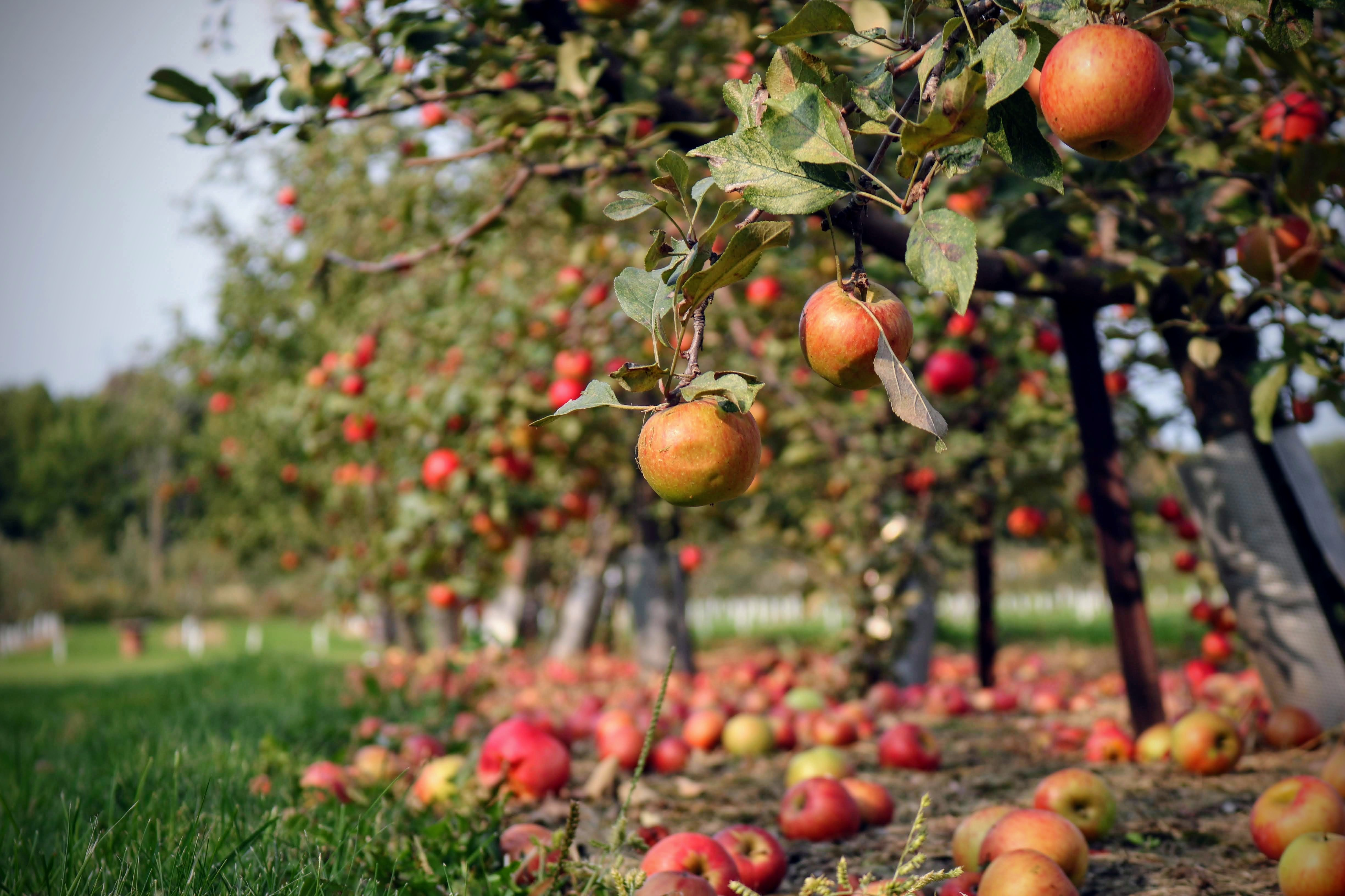 It's Apple Picking Season in Virginia